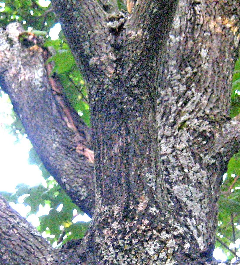 Maple Norway - Norway maple bark