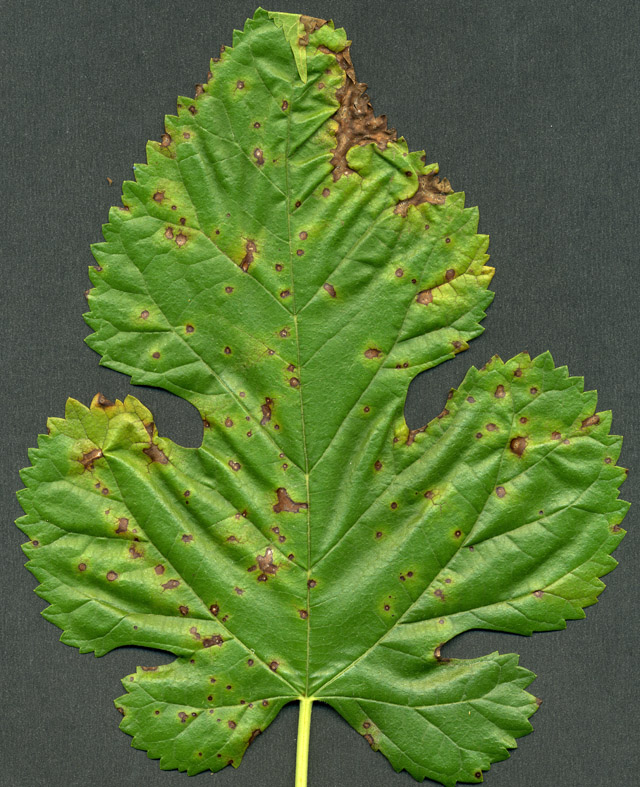 White Canker Tree And Shrub Disease